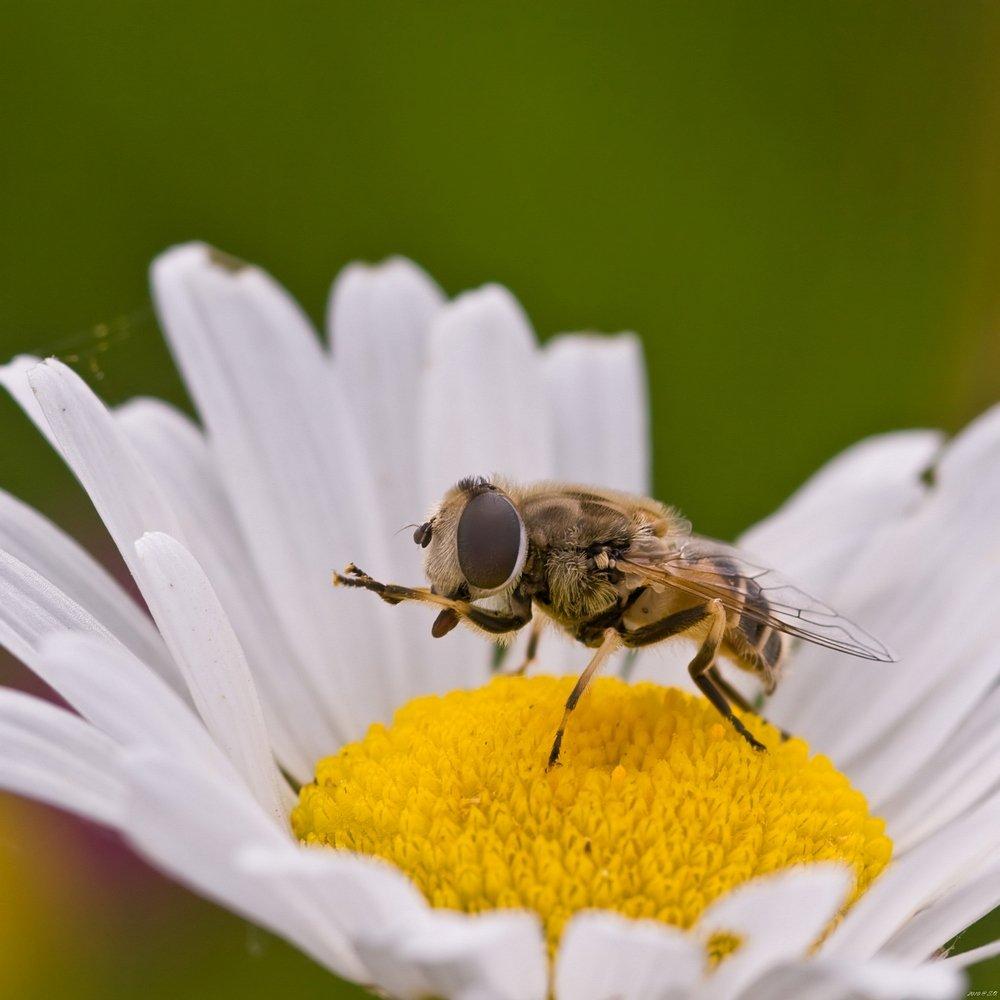 макро,журчалка,hoverfly,flower fly,schwebfliege,stehfliege,schwirrfliege,syrphidae, Eustignos Sergej