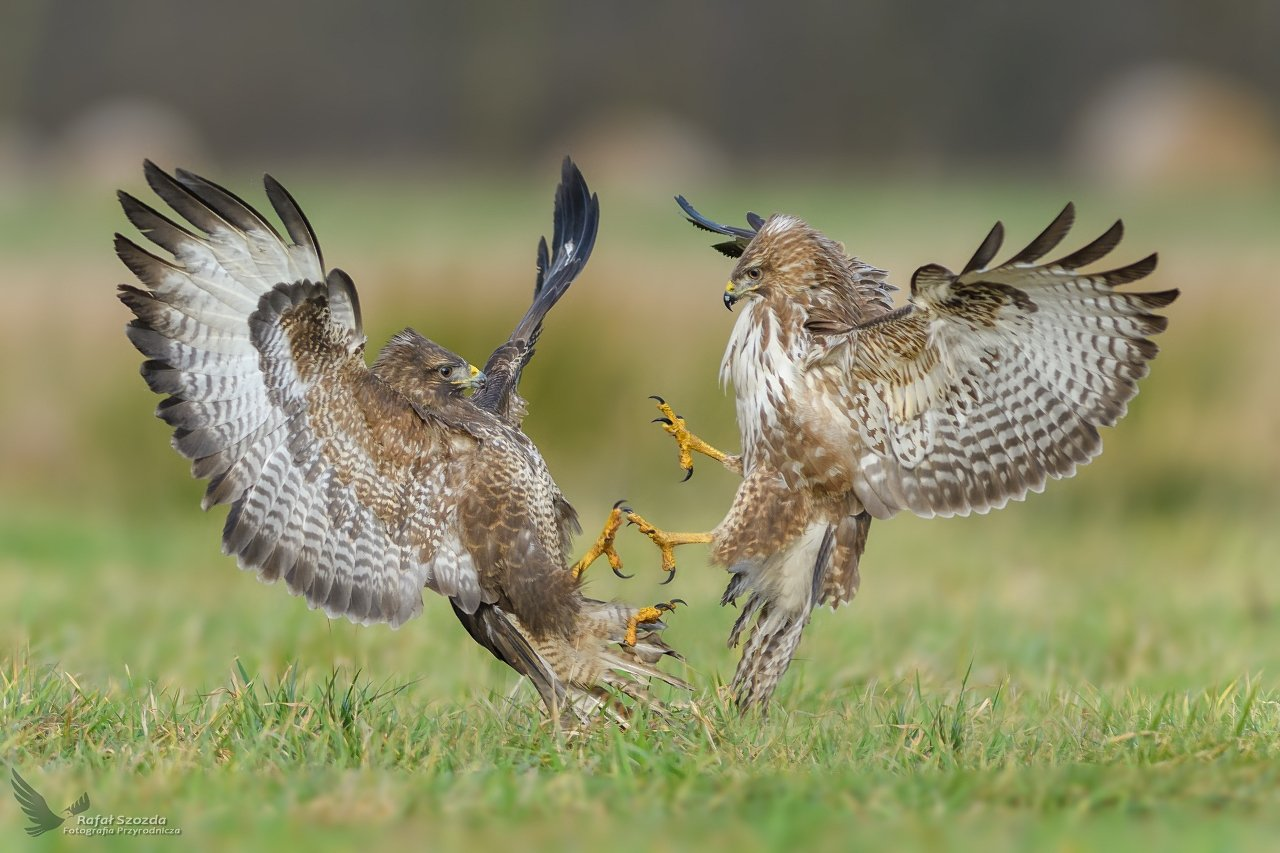 birds, nature, animals, wildlife, colors, winter, meadow, flight, fight, green, grass, nikon, nikkor, lens, lubuskie, poland, Rafał Szozda