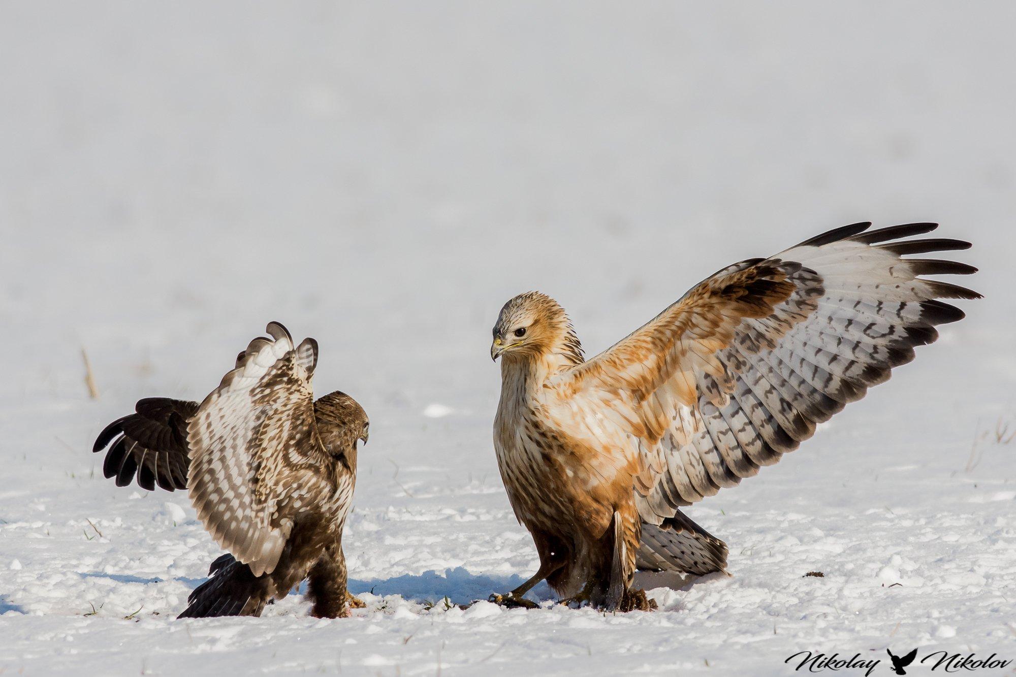 son,father,birds,winter,snow,wildlife,nature,lanscape,action,wings,animals, Nikolay Nikolov