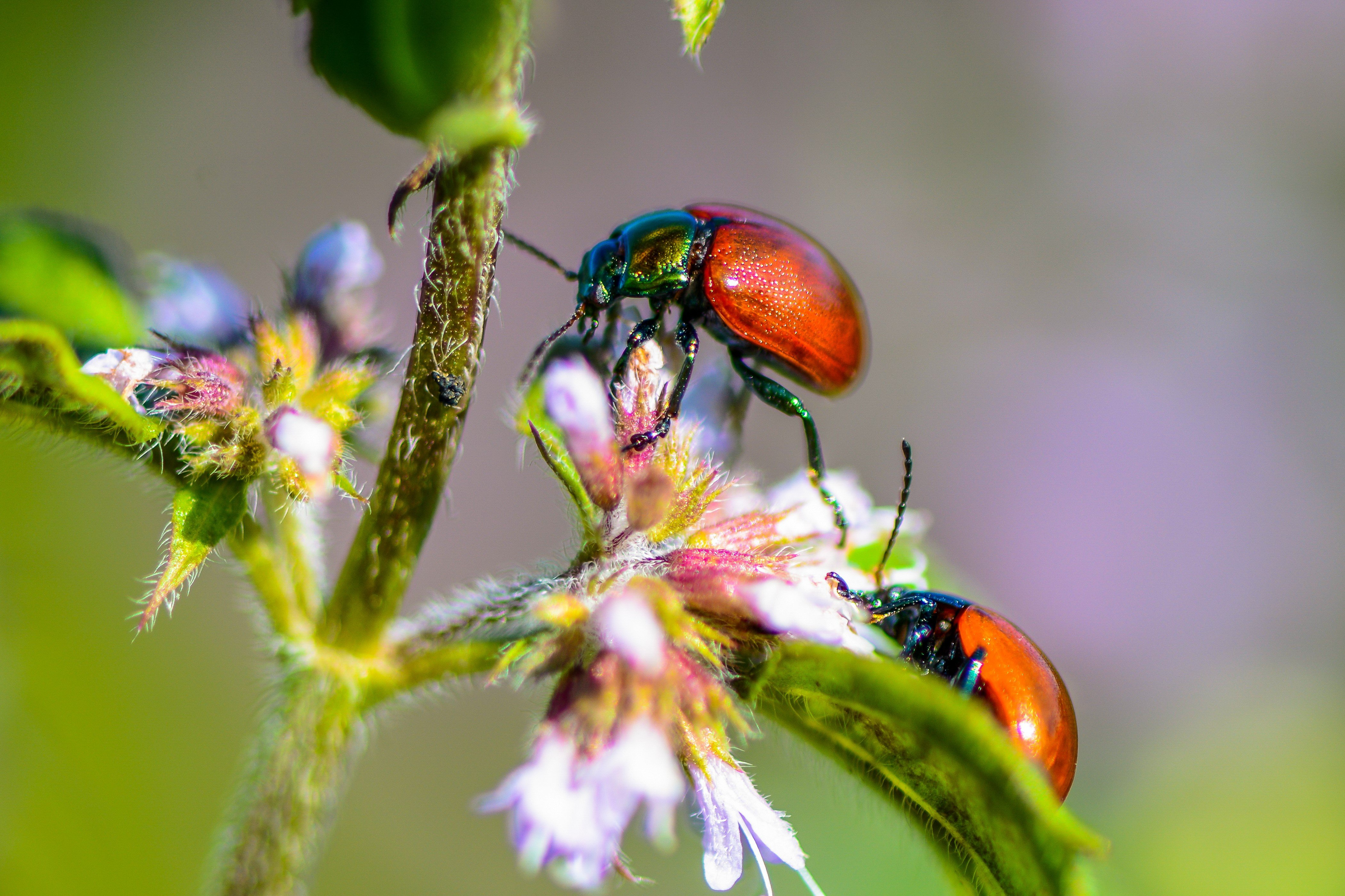 ladybugs, insects, macro, nature, colorful, flowers, Marius Surleac