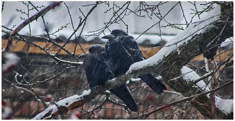ворона, зима, природа, метель, Sergii Vidov