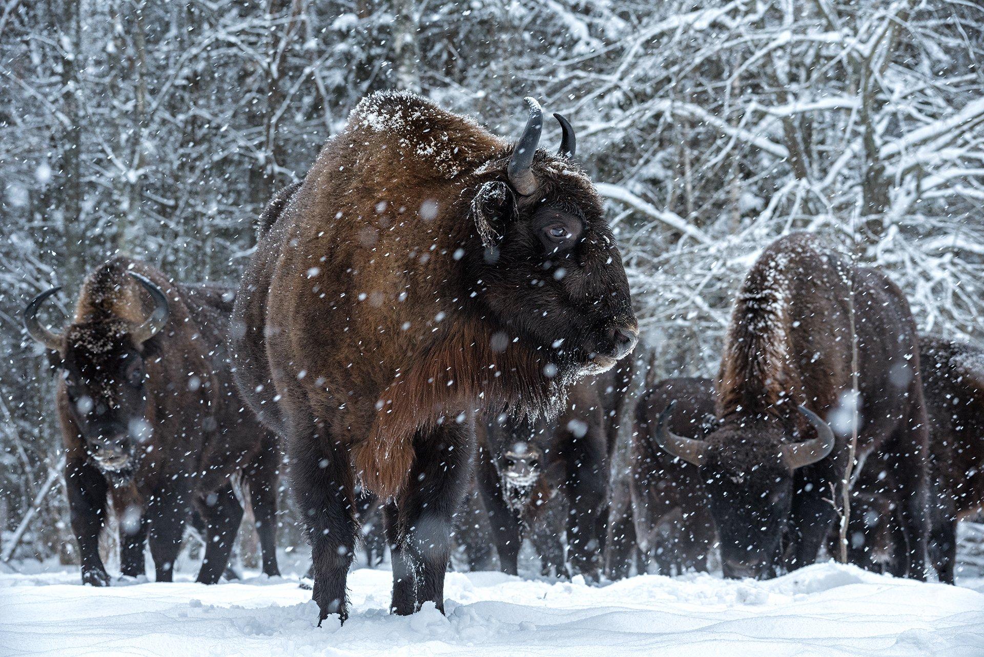 зубр, заповедник, калужские засеки, метель, зима, снег, животные, Игорь Зубков