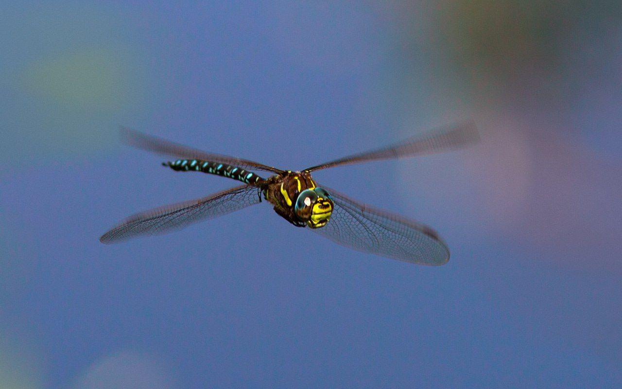 стрекоза,насекомые,лето,осень,макро,краски,печора,коми,север,природа, Триер Игорь
