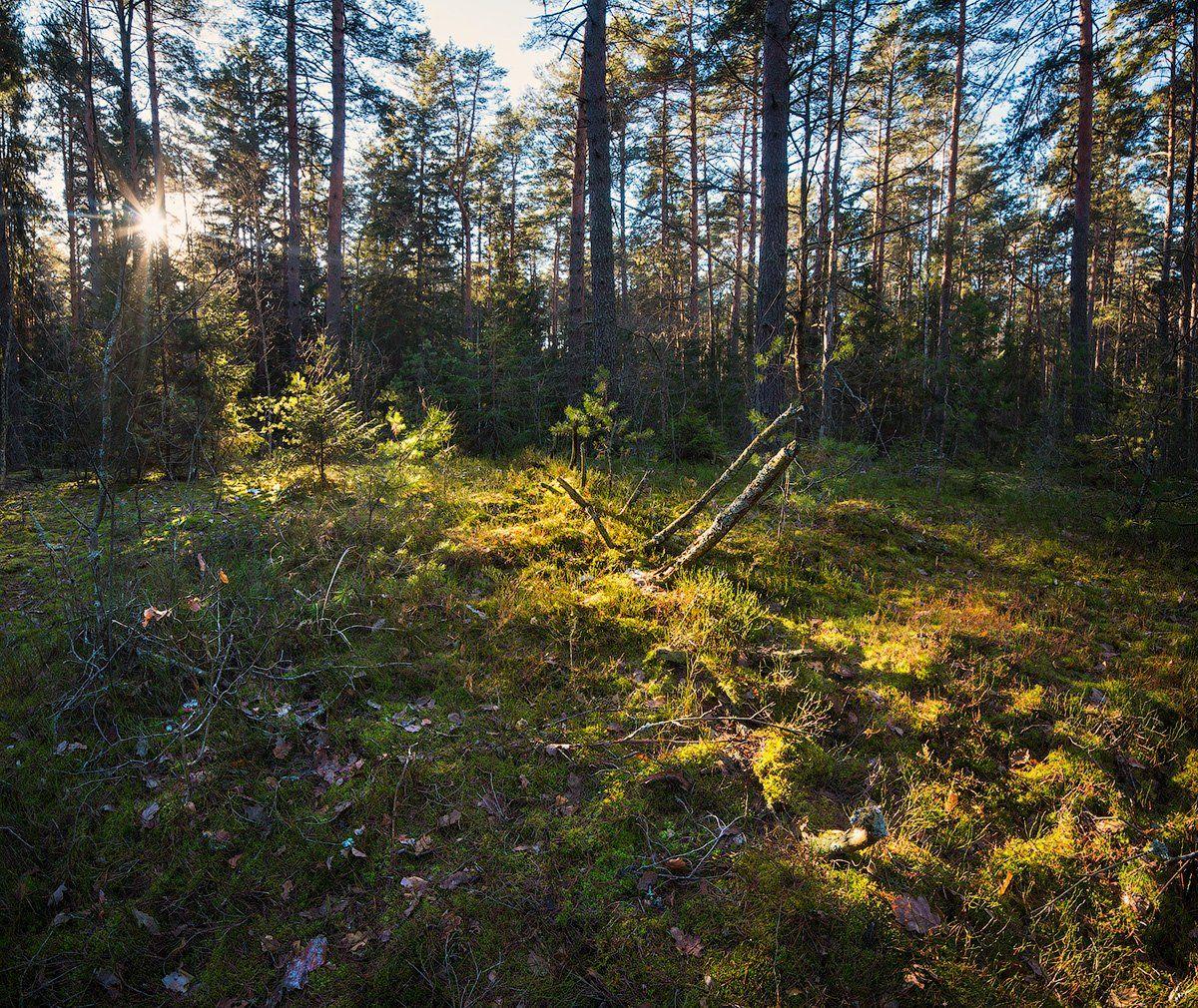 forest, trees, pines, sun, rays, green, moos, лес, деревья, сосны, полесье, Голубев Дмитрий