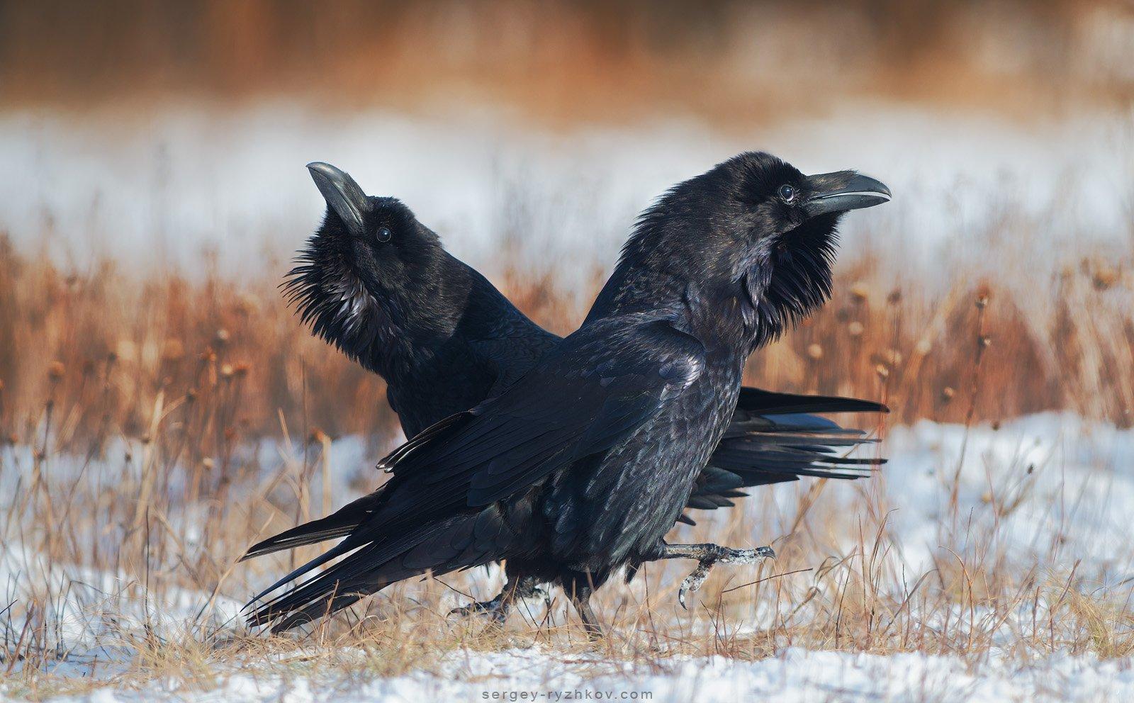 ворон, птицы, животные, природа, raven, bird, wildlife, Сергей Рыжков