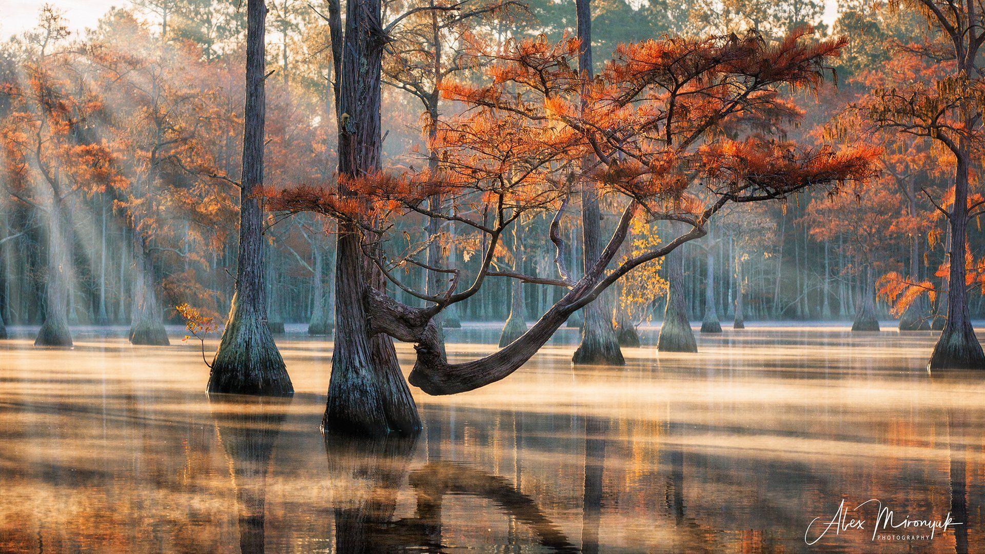 болото, кипарис, озеро, утро, солнце, рассвет, лес, отражение, вода, Alex Mironyuk