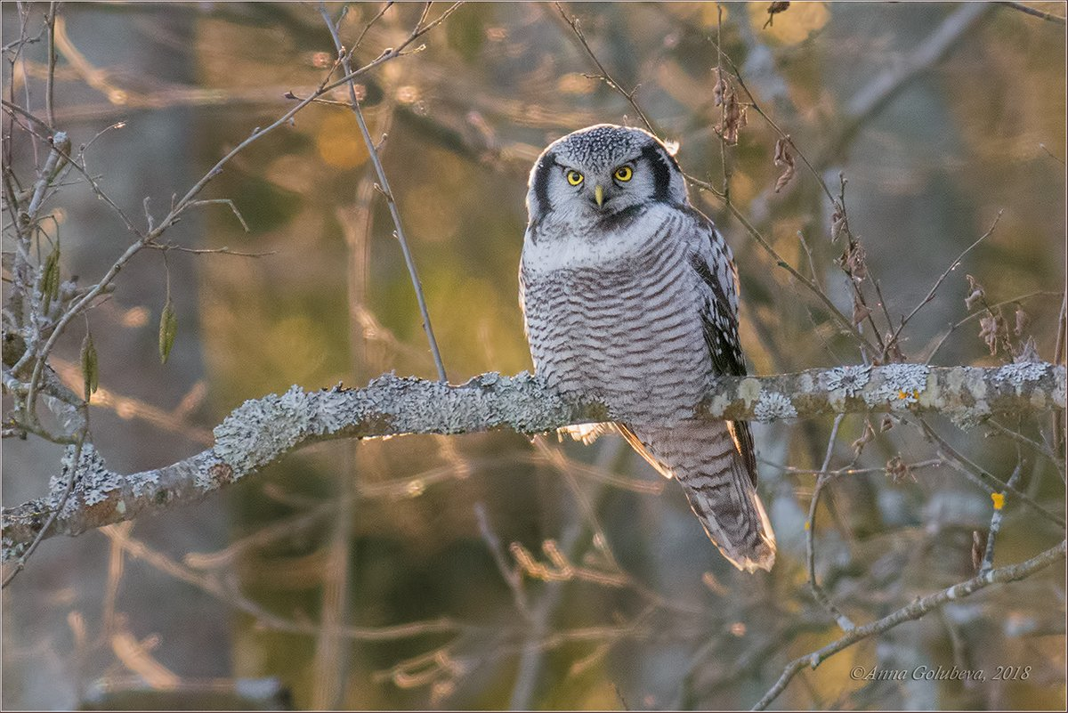 птицы, природа, surnia ulula, northern hawk owl, сова, ястребиная сова, зима, январь, 2018, подмосковье, Анна Голубева