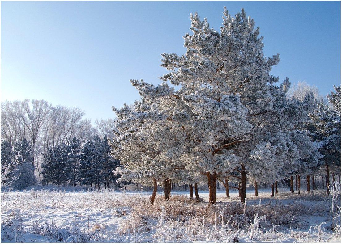 мороз, снег, зима, сосны, Антонина