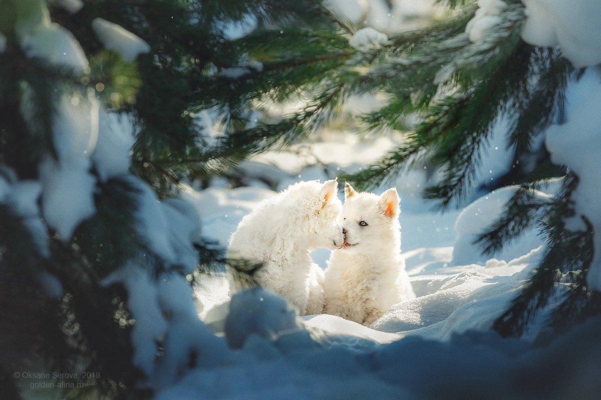 собака, лес, зима, хаски, щенок, снег, любовь, поцелуй, Оксана Серова