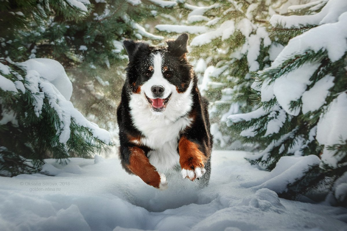 собака, зима, снег, бернский зенненхунд, порода, радость, улыбка, Оксана Серова
