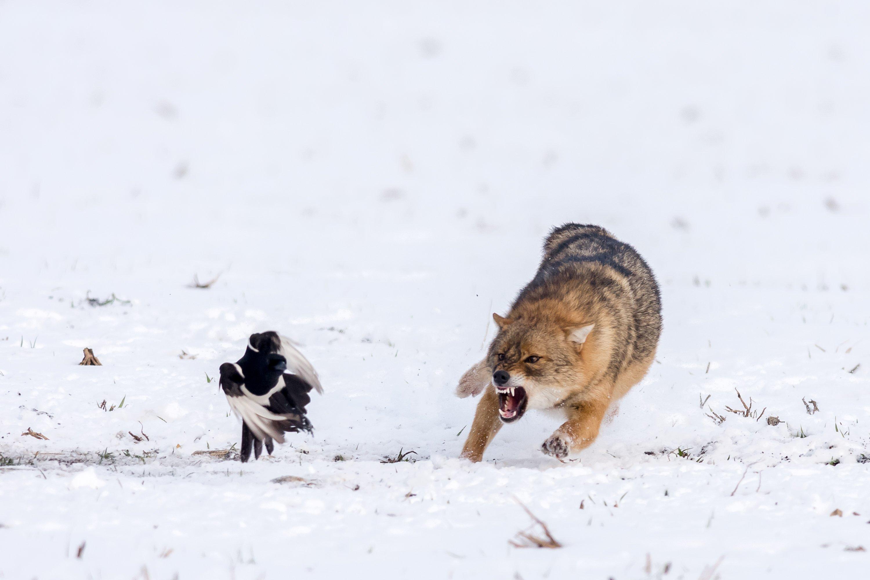 #winter #white #jackal #roar #wildlife #snow #bird #running_animal #animal #action #fury #angry, Nikolay Nikolov