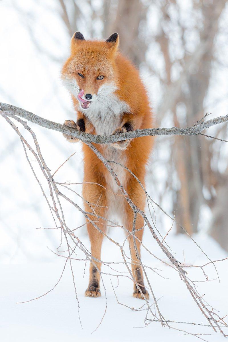 Камчатка, лиса, зима, природа, путешествие, животные, , Денис Будьков