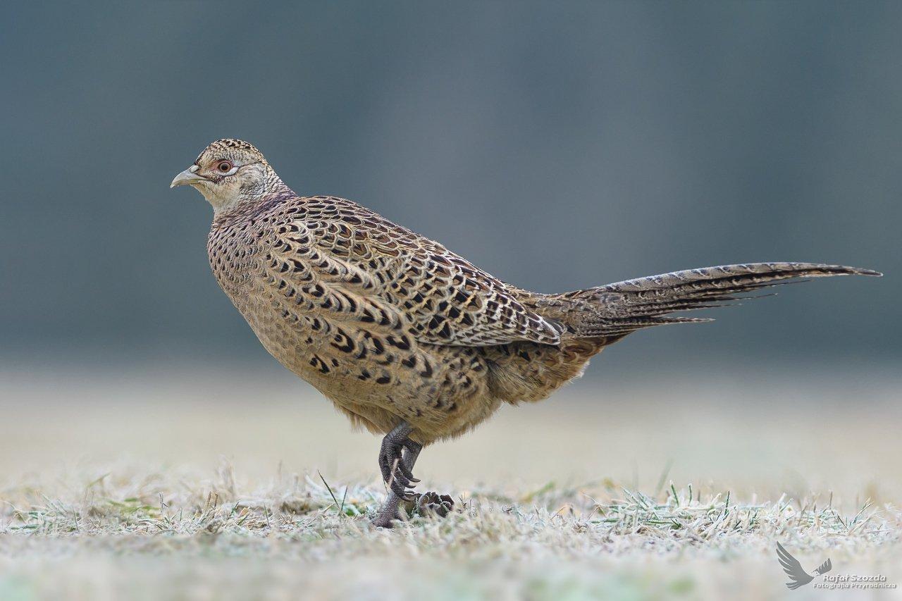 birds, nature, animals, wildlife, colors, winter, meadow, nikon, nikkor, lens, lubuskie, poland, Rafał Szozda