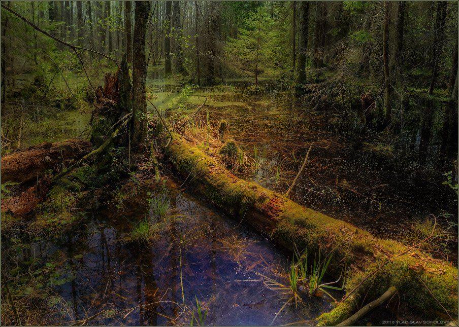 топь, болото, беларусь, полесье, трясина, мох, солнце, лес, Влад Соколовский