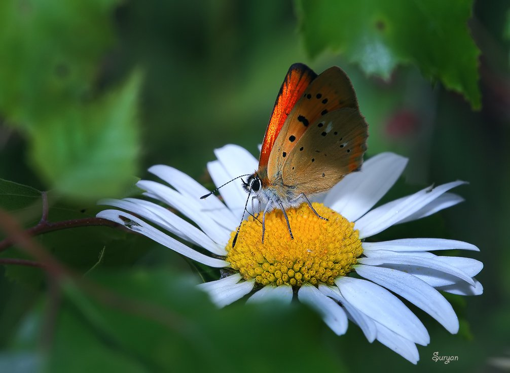 лето, бабочка, червонец, Олег Сурьянинов