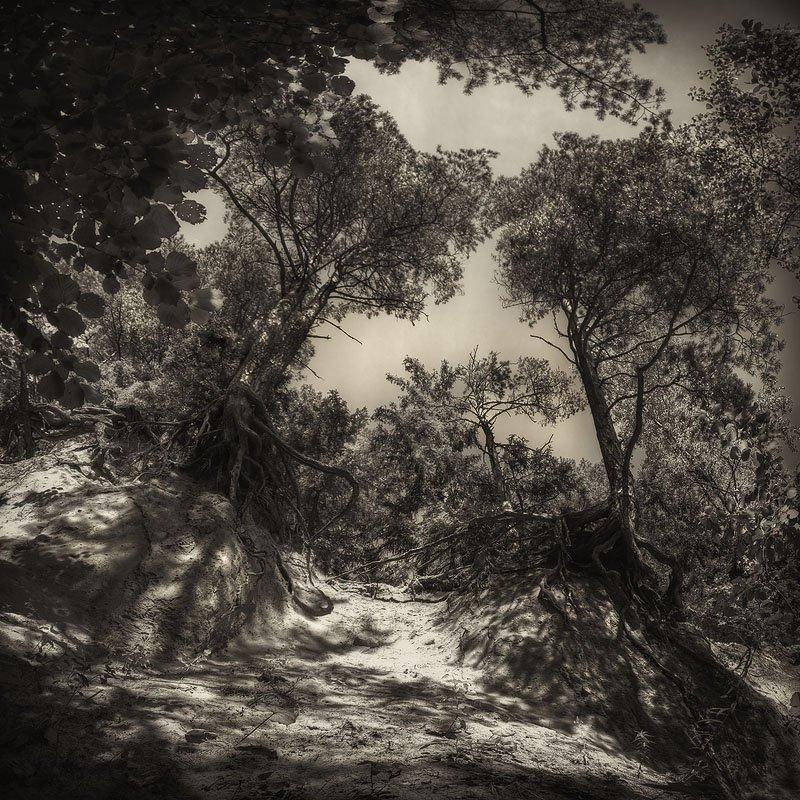 оголенные, корни, сосны, песок, листья, обрыв, Dmitry Apalikov