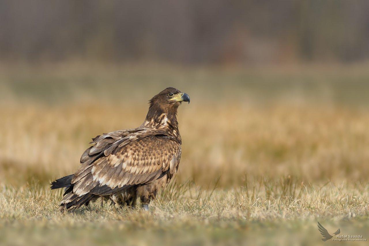 eagle, birds, nature, animals, wildlife, colors, meadow, nikon, nikkor, lens, lubuskie, poland, Rafał Szozda