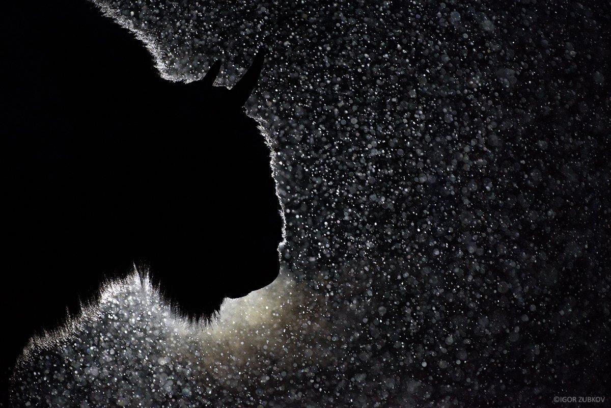 зубр, метель, снег, ночь, калужские засеки, european bison, bison, night, snow, дыхание, Игорь Зубков