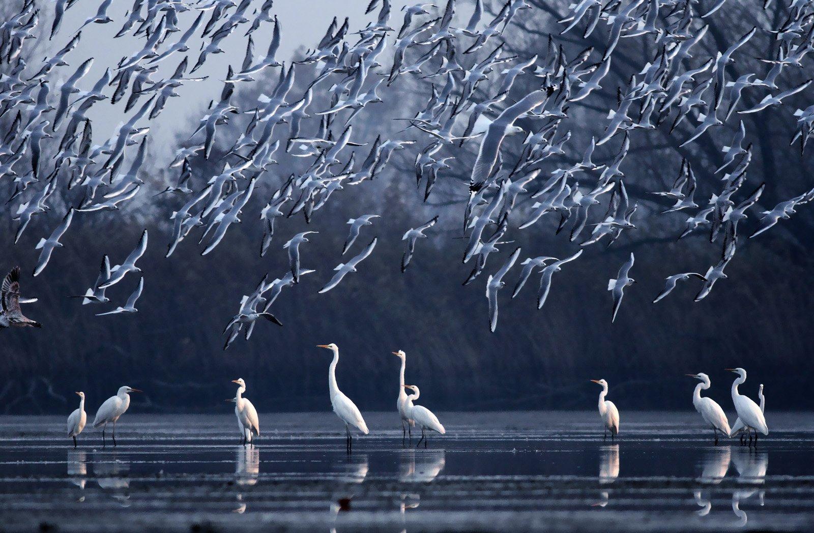 great egret, seagulls, water, wildlife,, Adam Fichna