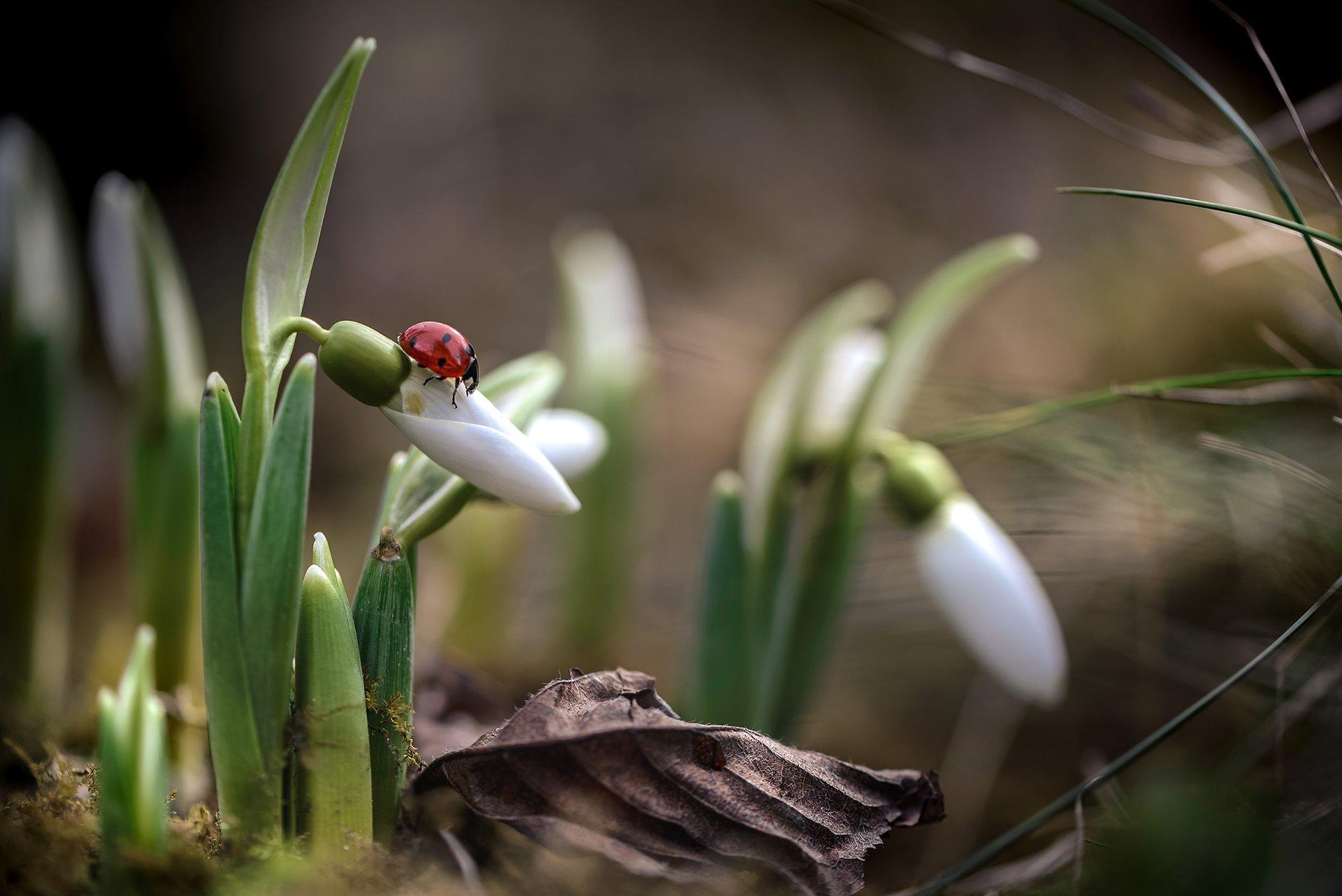 природа, макро, весна, цветы, галантус, жук, божья коровка, Неля Рачкова