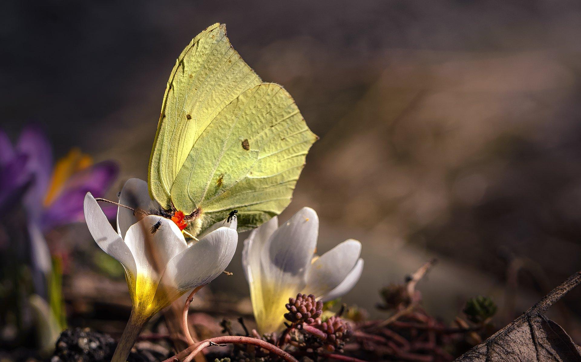 природа, макро, весна, цветы, крокус, бабочка, мушки, Неля Рачкова