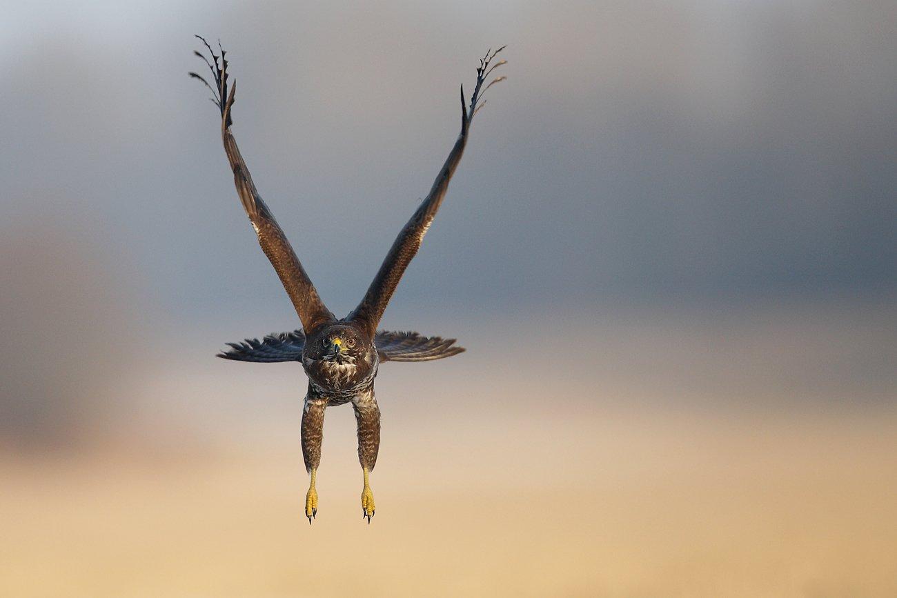 buzzard, hawk, wildlife, bird,, Adam Fichna