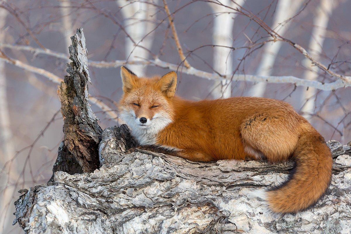 Камчатка, лиса, весна, природа, путешествие, животные, , Денис Будьков