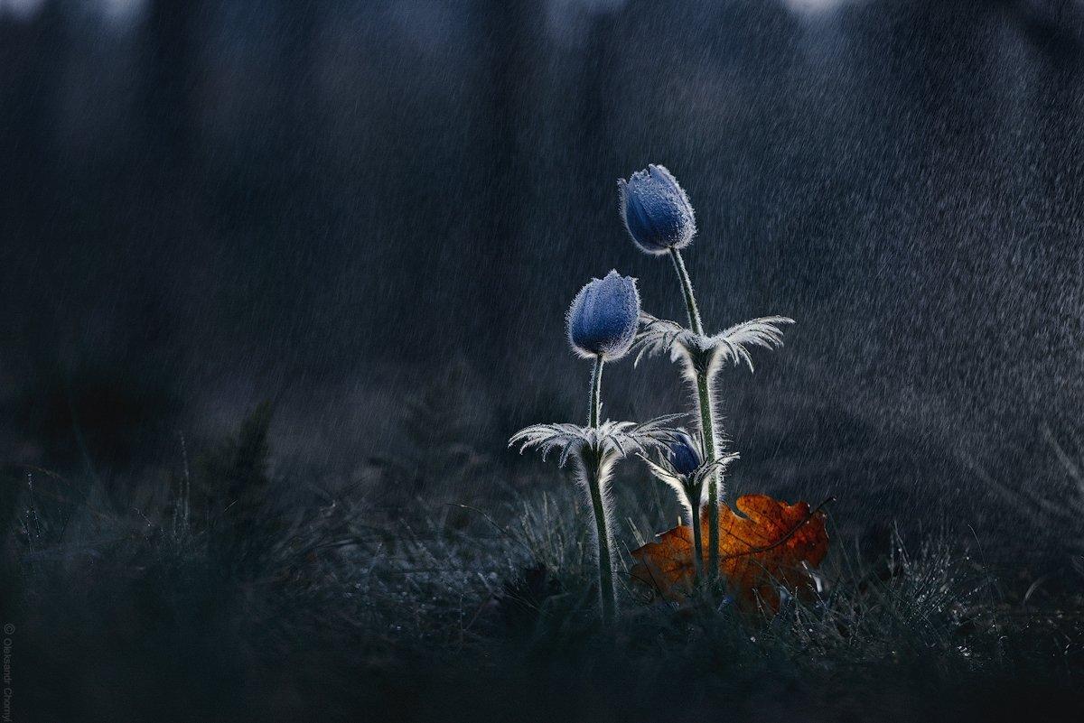 украина, коростышев, весна, природа, лес, сон трава, прострел, красота, макро, макро мир, макро красота, макро истории,, Александр Чорный