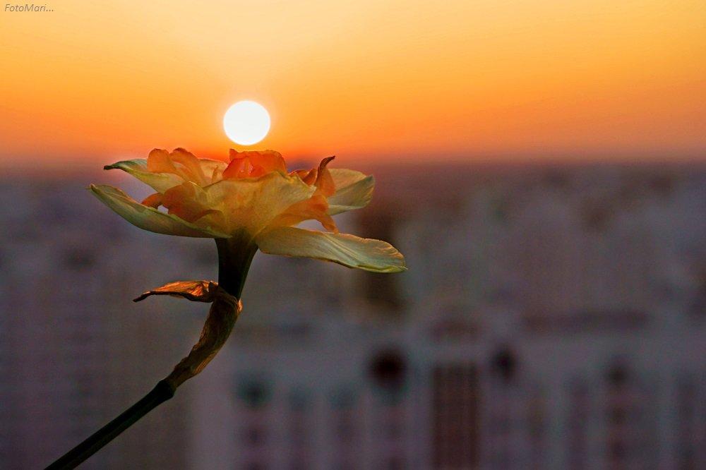 макро,весна,взгляд,нарцисс, Марина Соколова