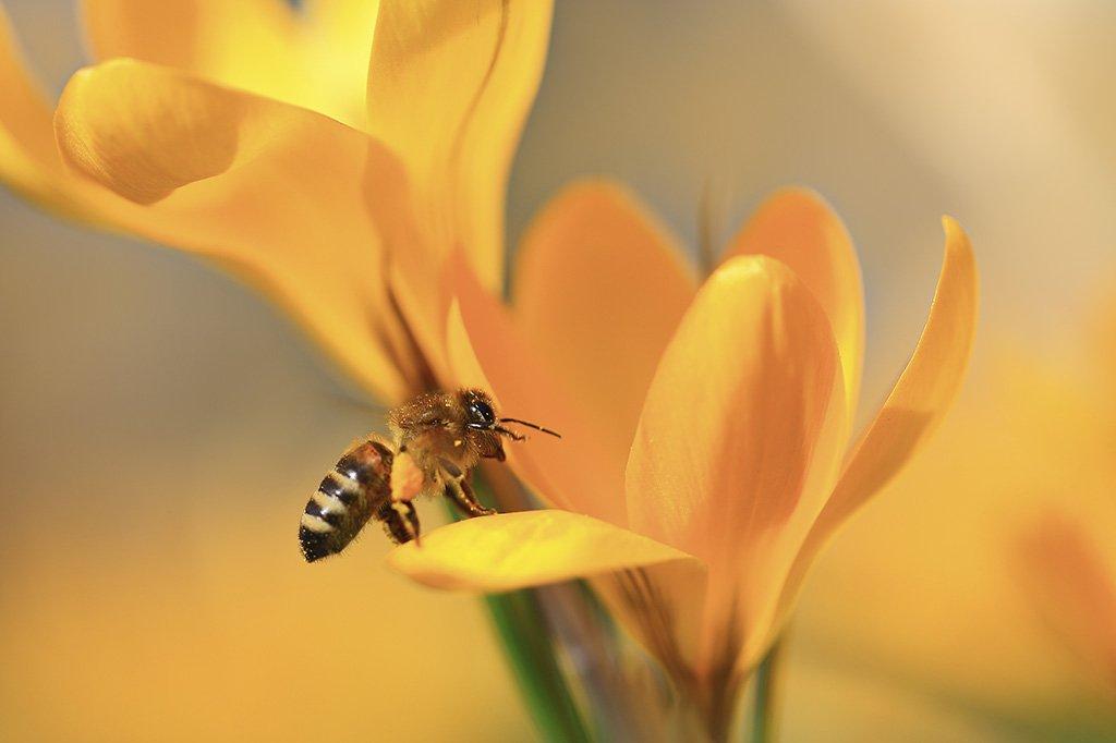 Весна,пчела,цветы,солнце,крокус., Виктор Шнайдер