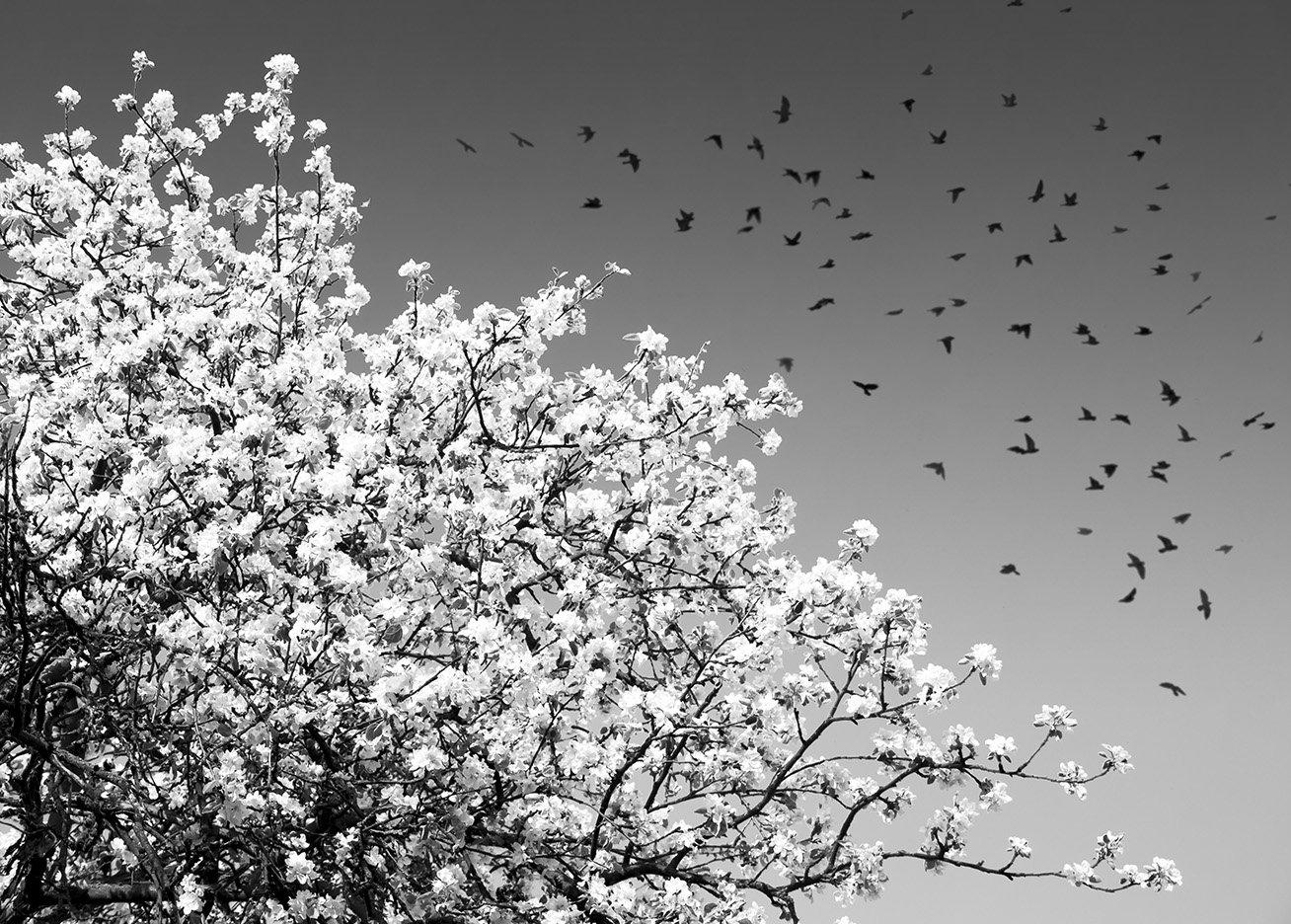 весна, дерево, птицы, небо, цветение, цветы, черно-белое, полет, воздушный, ветви, Фото Брест