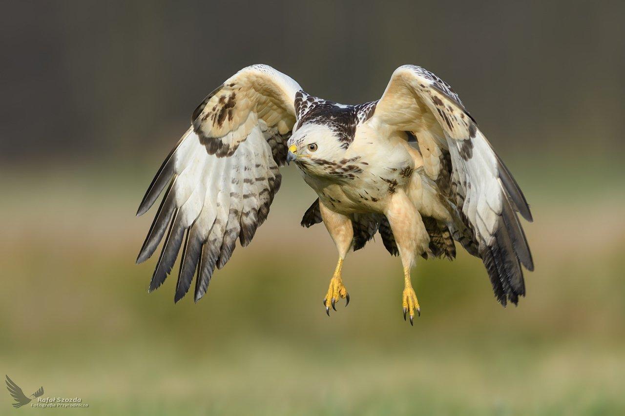 birds, nature, animals, wildlife, colors, meadow, spring, flight, nikon, nikkor, lens, freedom, green, lubuskie, poland, Rafał Szozda