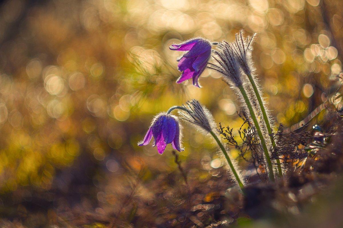 весна пострел цветы лес солнце май, Марина Мурашова