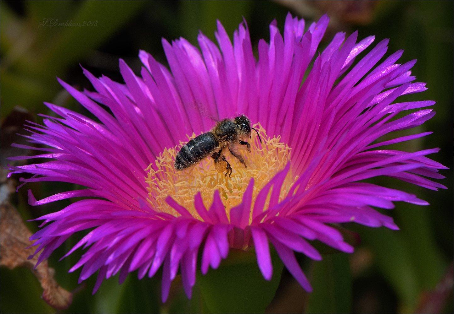 пчела, цветы, весна, макро, Sergey Drobkov