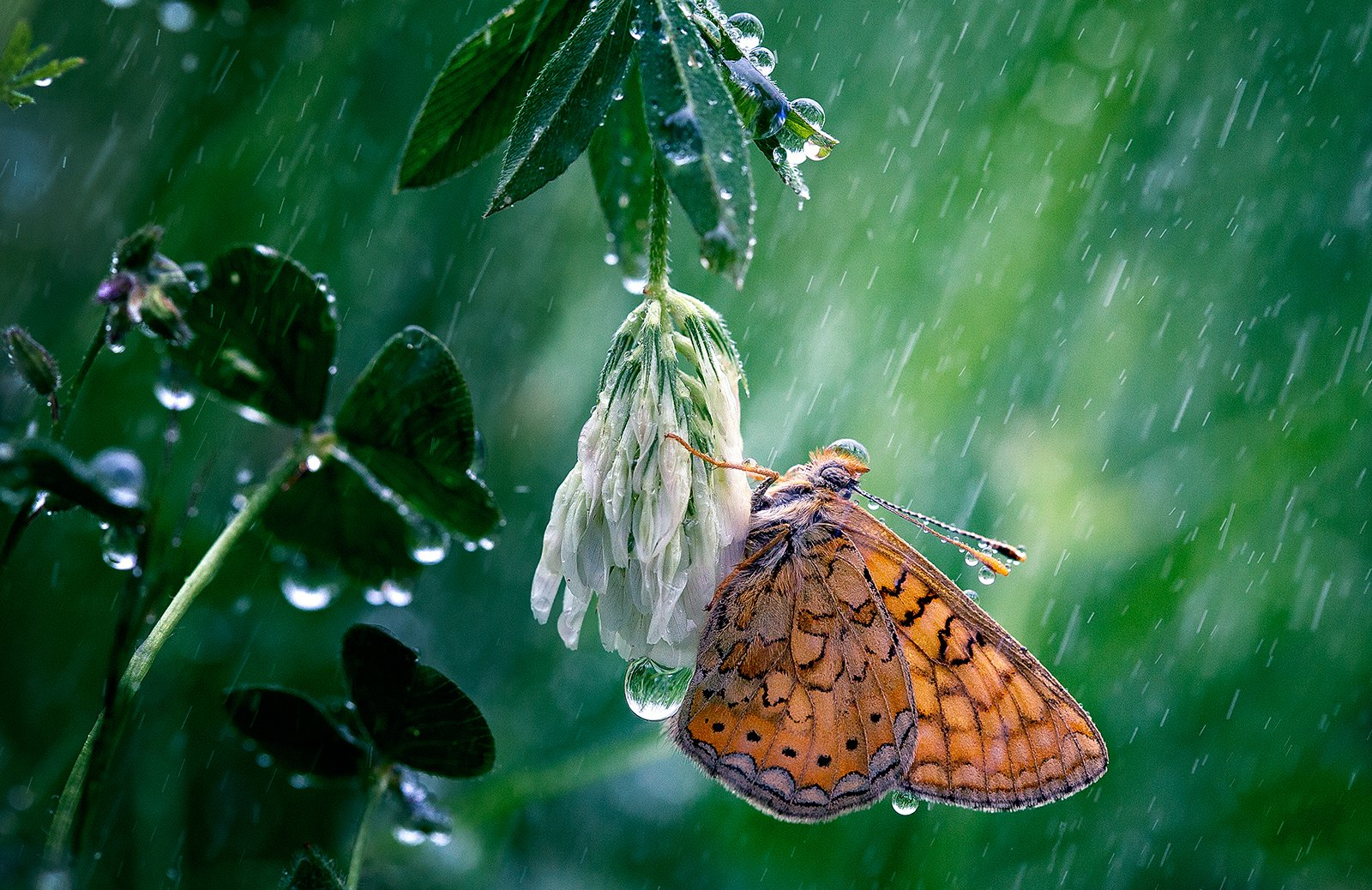 insects,butterfly,macro,beautiful,insect,wild,wildlife,nature,faerie,close up,rainy,rain,drops,fairy,, Georgi Georgiev