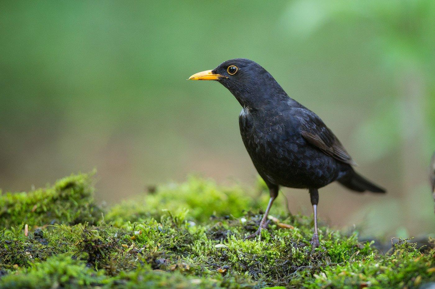 blackbird, bird, wildlife, черный дрозд, птицы, птица, дикая природа, дрозд, Голубев Дмитрий
