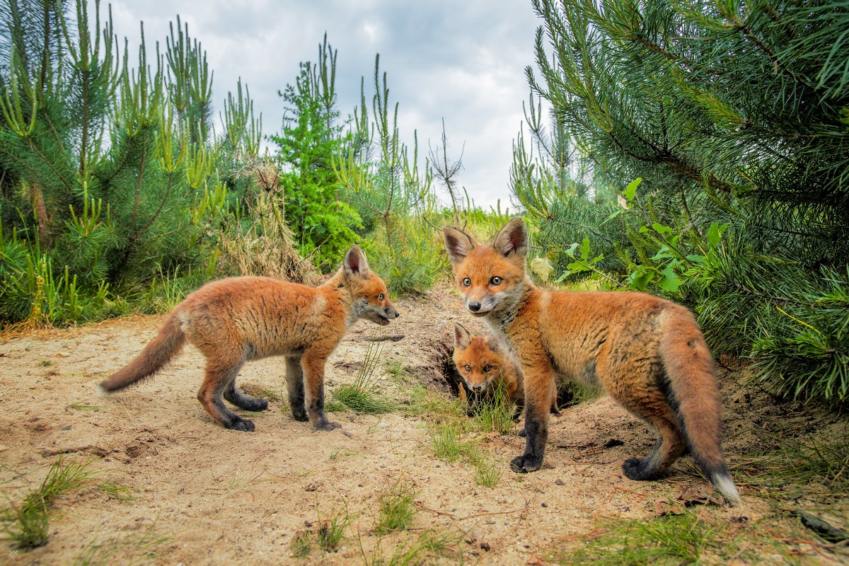red fox, pups, puppies, animals, wildlife, Wojciech Grzanka
