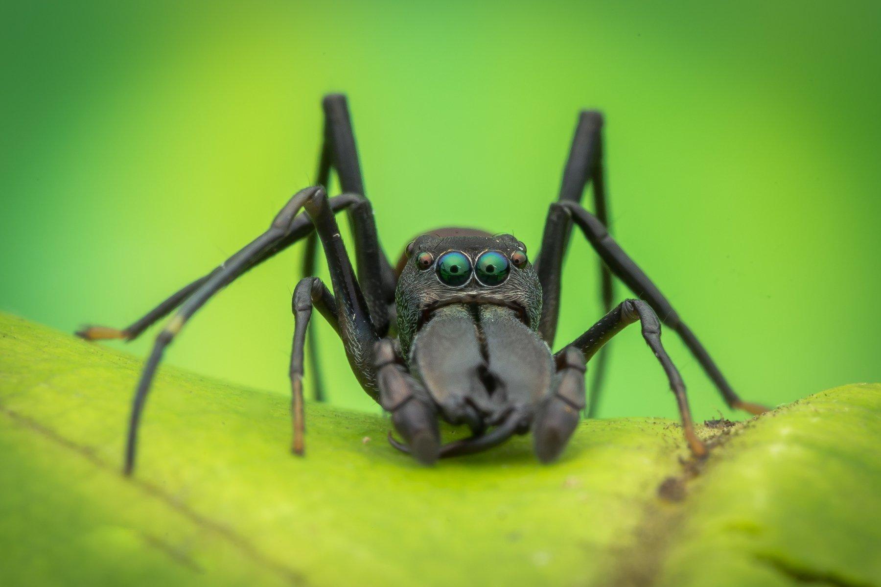 #hypnotize, #ant, #mimic, #spider, #eyes, #macro, #npl, Nik Peter Liew