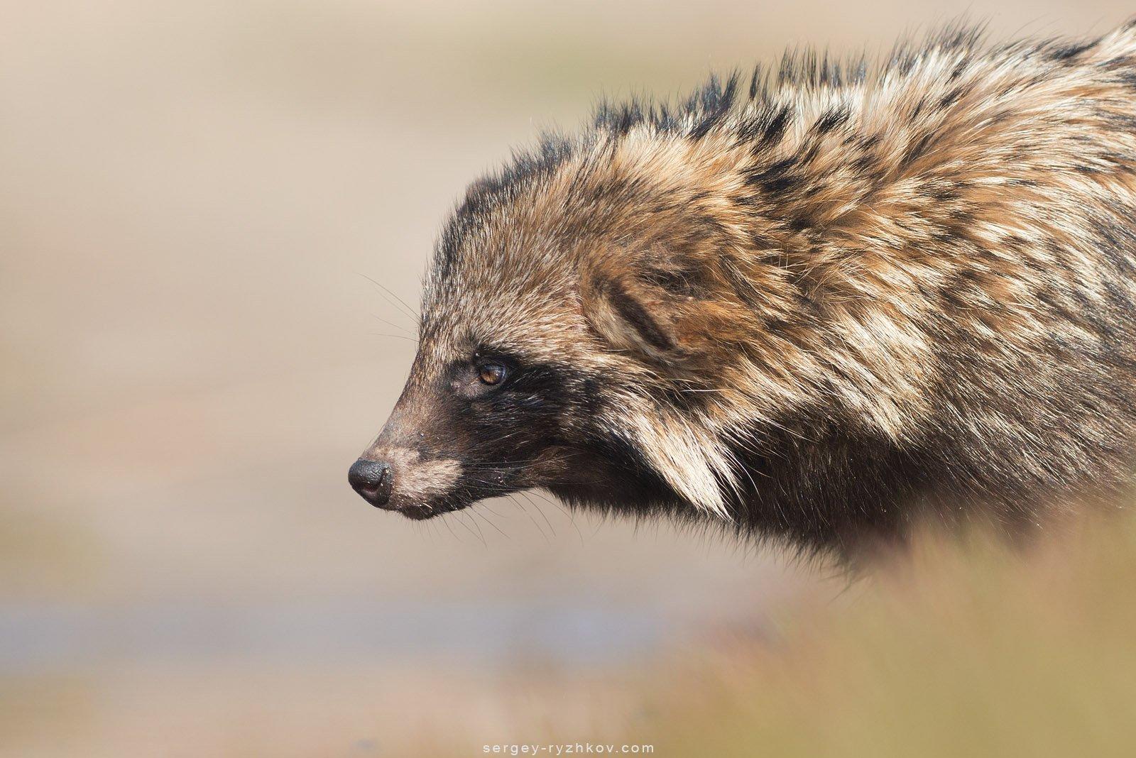 енотовидная собака, дикая природа, животные, украина, кинбурн, wildlife, nature, raccon dog, , Сергей Рыжков