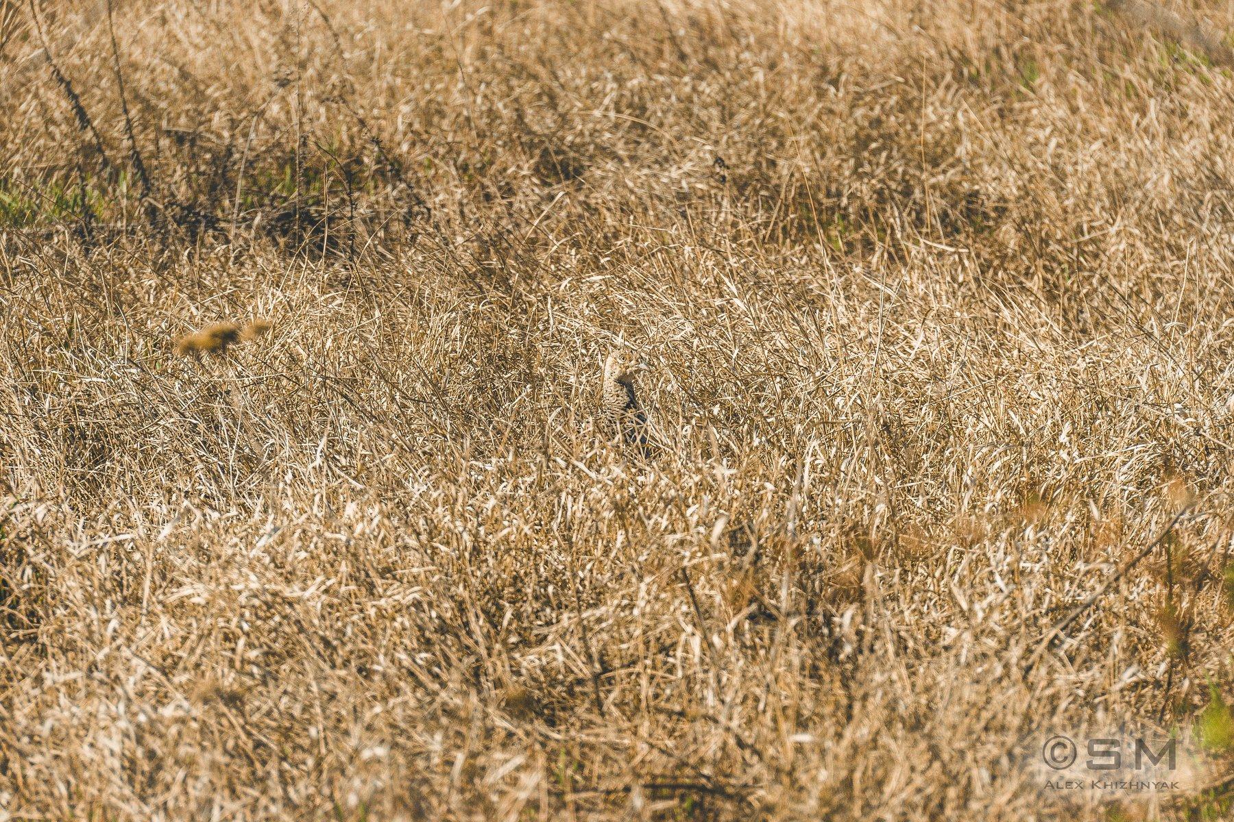 фазан, природа, трава, птица, камуфляж, Simplici_mortE