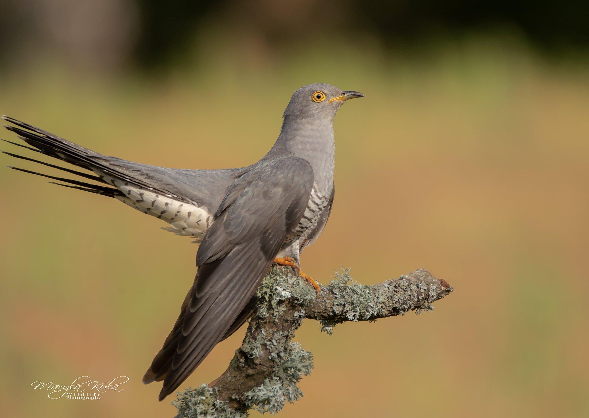 cuckoo, birds, nature, wildlife, woods, MARIA KULA