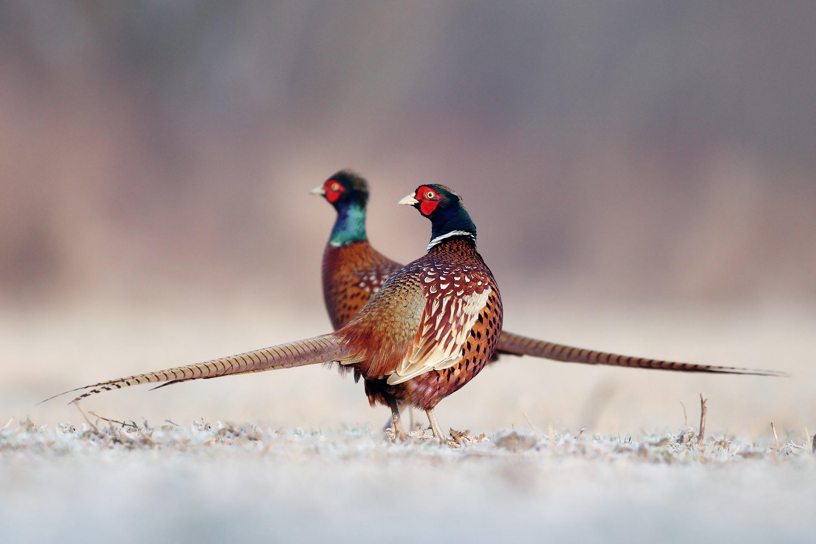 bird, pheasant, wildlife, snow, winter, cold, Adam Fichna