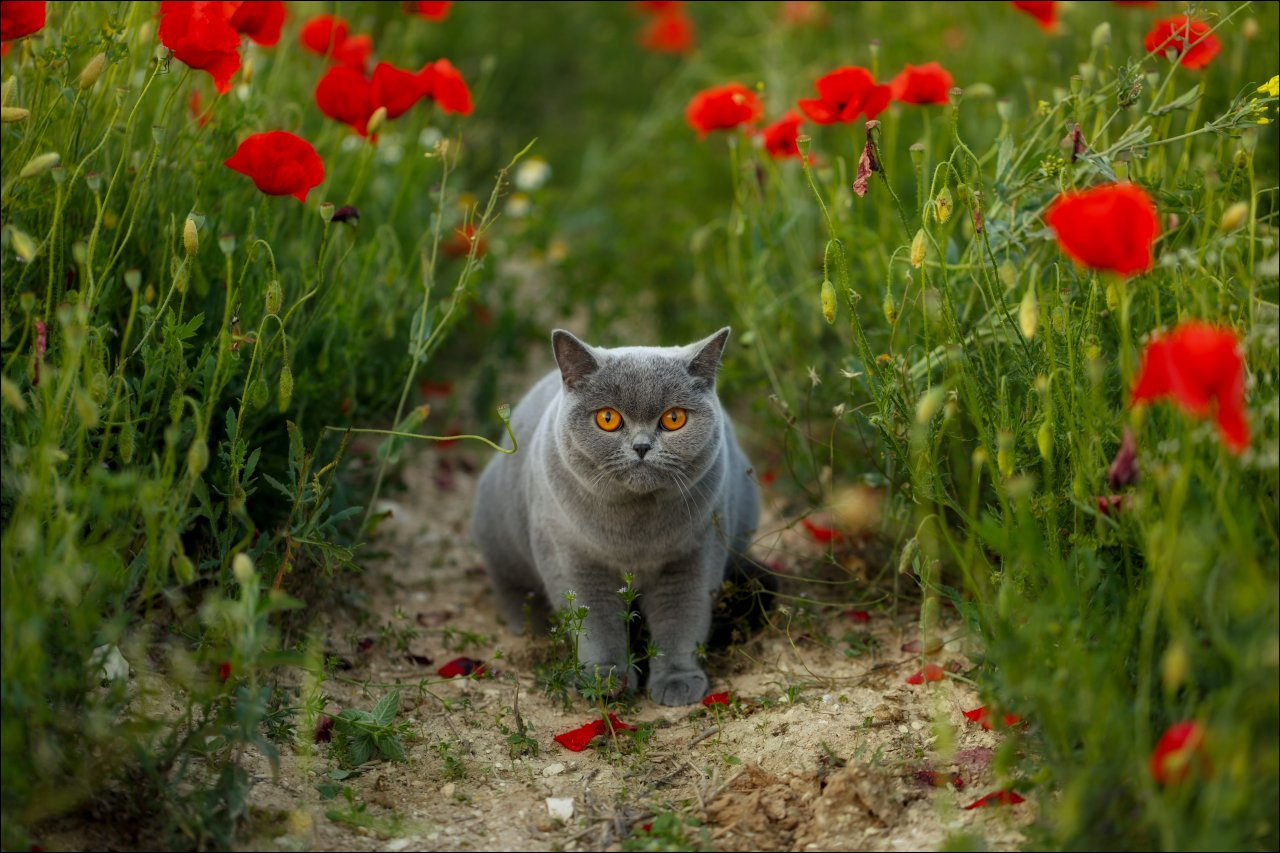 british shorthair,маки,mirabella,тропинка,британская кошка,котофото., Василий.