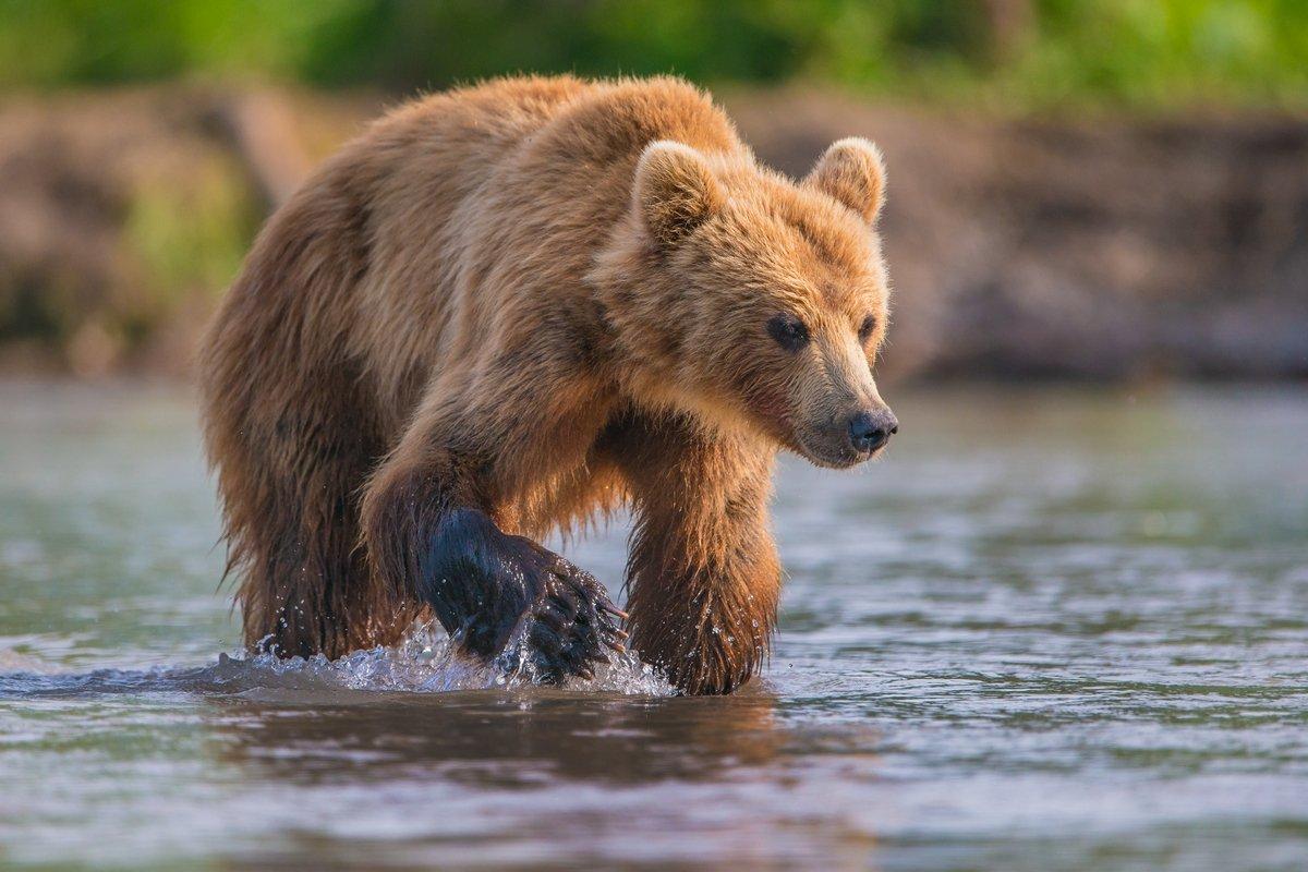 медведь, Александр Маркелов
