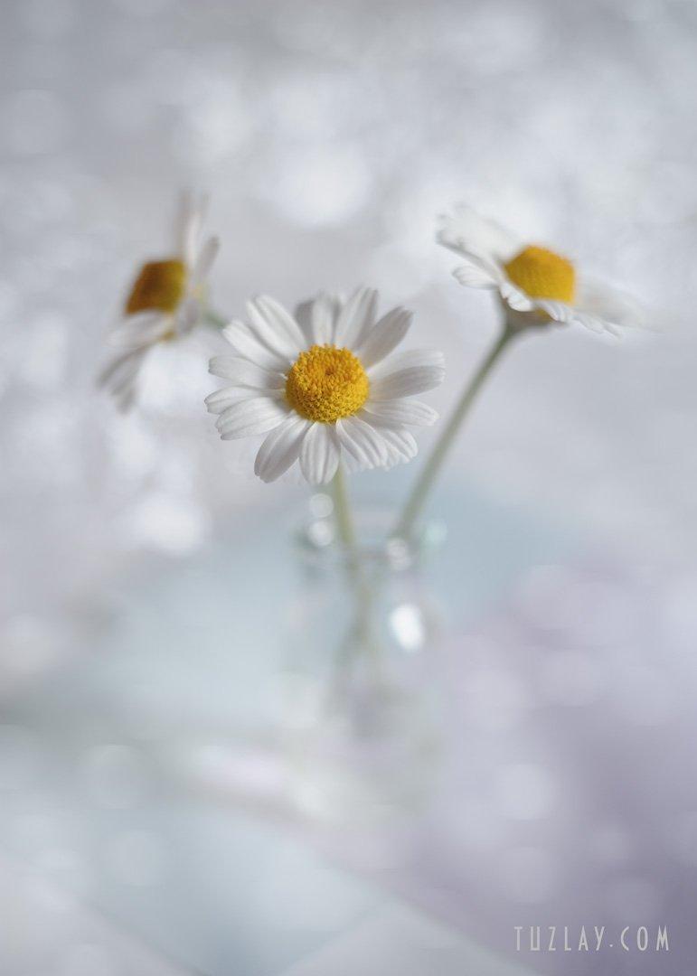 ромашки, белые ромашки, софт фокус, боке, весна во флаконе, пузырёк, Владимир Тузлай