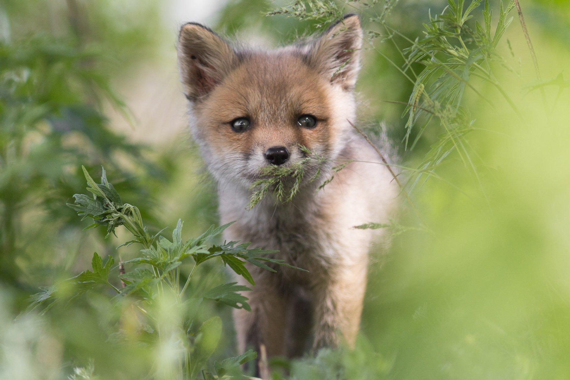 Животные, фотоохота, млекопитающие, дикая природа, лиса, лисица, лисенок, Алина Урусова