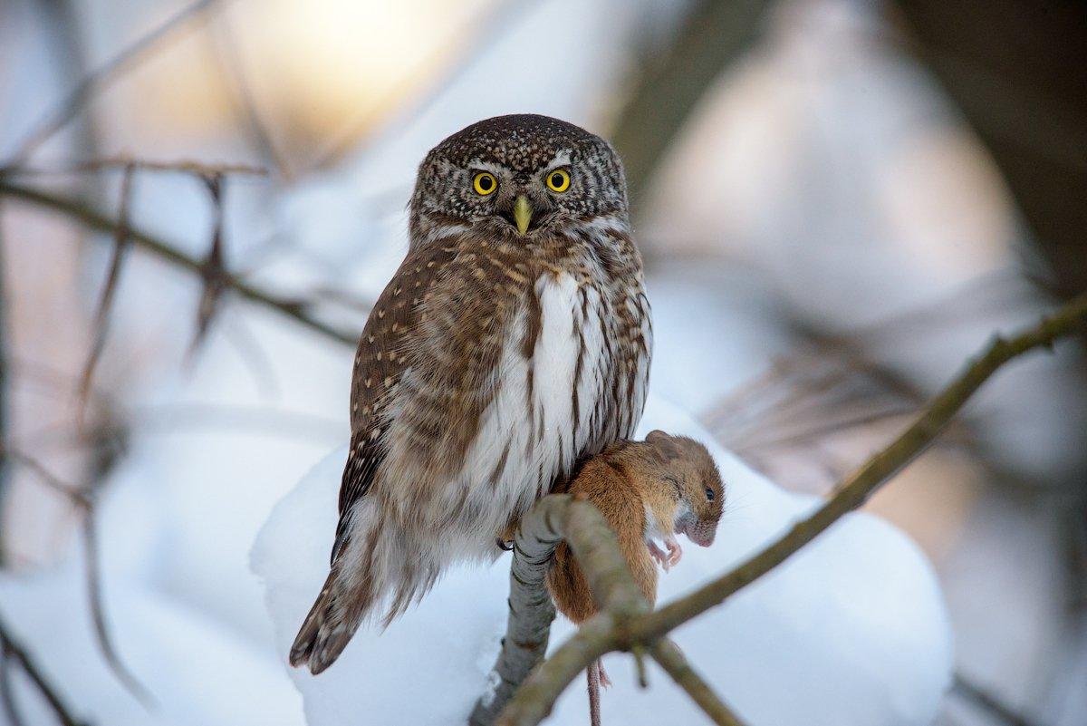 воробьиный сычик, сычик, сыч, сова, хищник, мышь, птицы, лес, bird, owl, pygmy owl, hunter, winter, mouse, Игорь Зубков