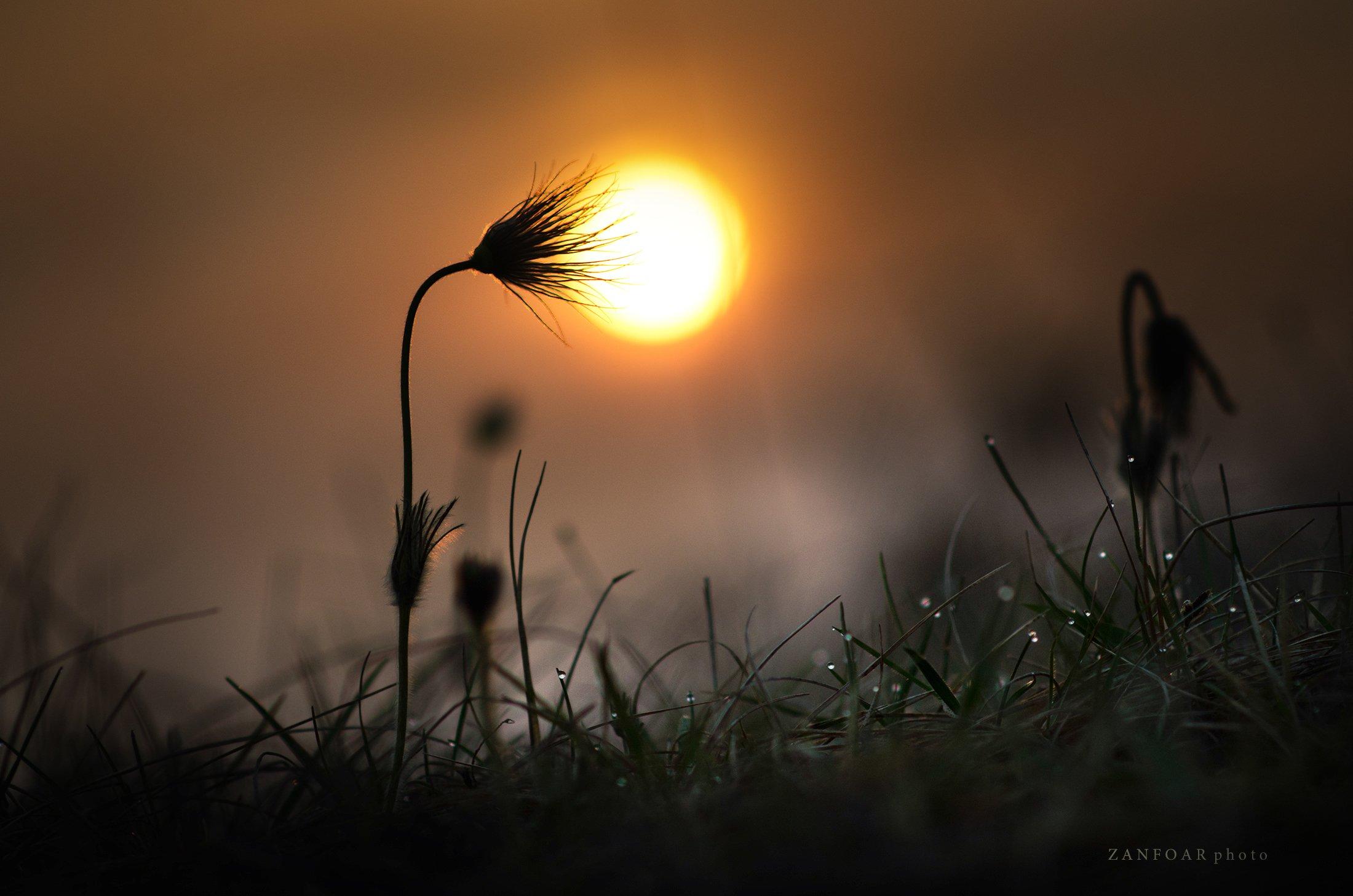 pulsatilla grandis,бархатный цвет,окзакат,пейзаж,природа,цвет,zanfoar,макро,чешская республика,czech ,republic,nikon d7000,twin,, Zanfoar