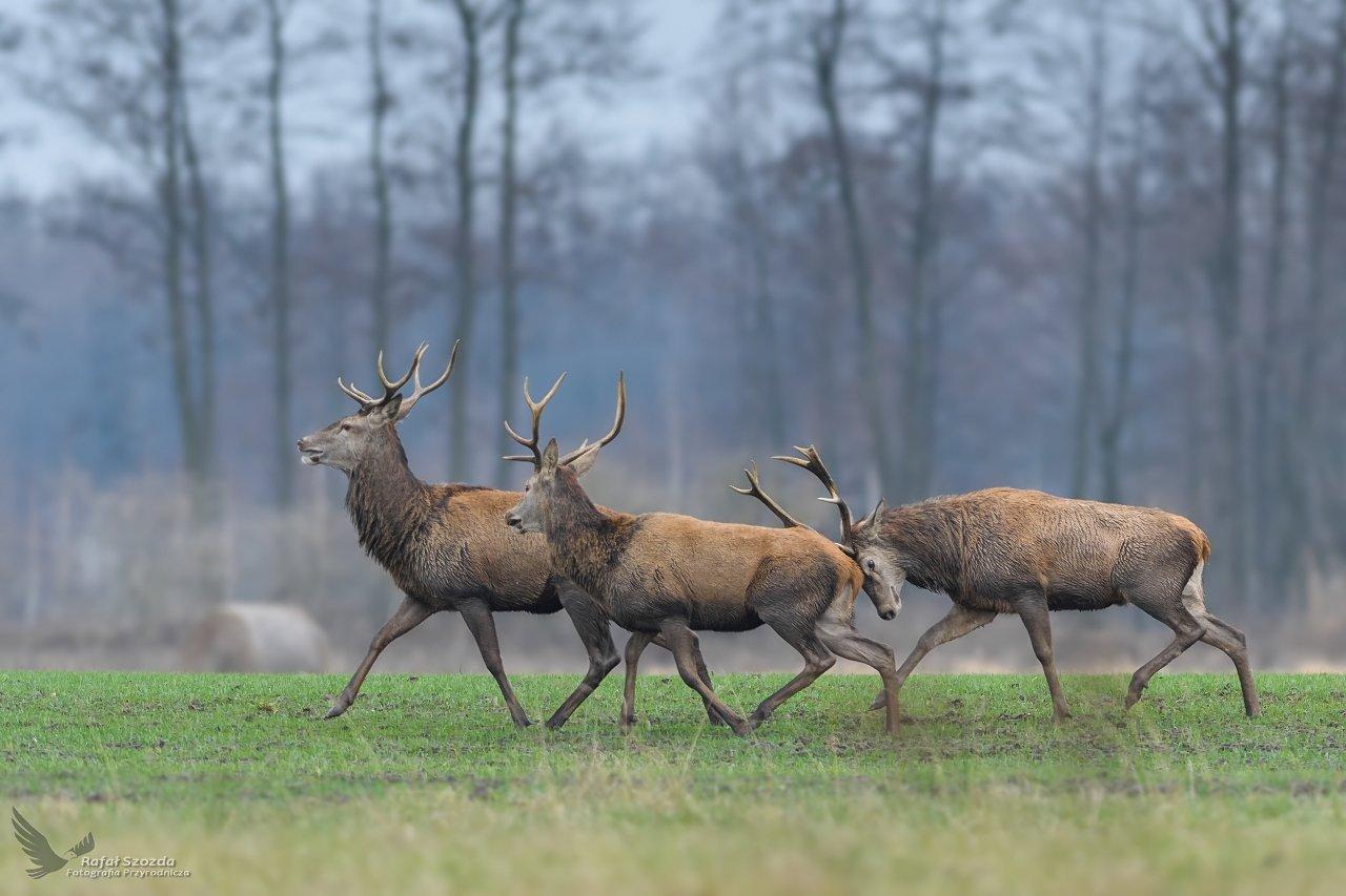 deer, animal, nature, wildlife, colors, meadow, nikon, nikkor, lens, lubuskie, poland, Rafał Szozda