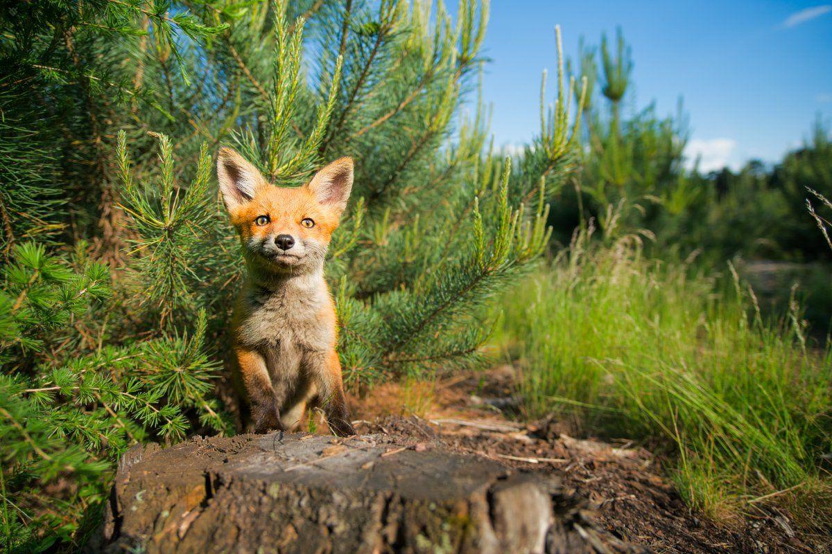 red fox, fox, wildlife, forest, Wojciech Grzanka